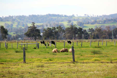 Australian rural farm paddock with sheep and cattle grazing