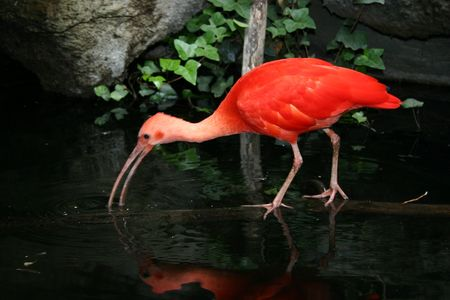 A scarlet ibis, a wading bird native to tropical South America.