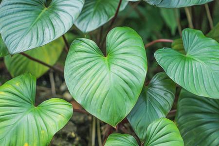 Photo pour Green leaf heart shaped ,Homalomena rubescens - image libre de droit