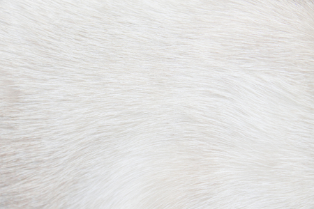Foto de Fur cat light gray or white  texture abstract for background , Natural animal patterns skin - Imagen libre de derechos