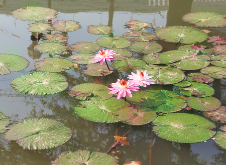 Photo pour Colorful  pink lotus flowers with green leaves blooming  in water background , ornamental plants - image libre de droit