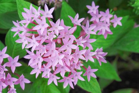 Foto für Colorful pink egyptian starcluste or star flower blooming top view in garden - Lizenzfreies Bild