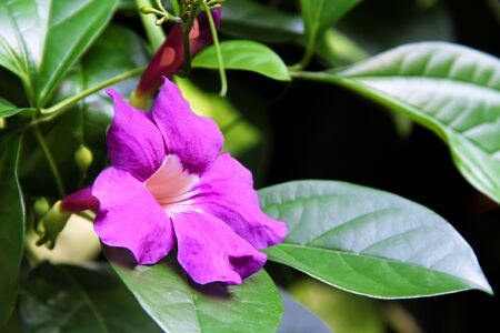 Photo pour Puple flowers petal in  trumpet shaped blooming with leaf in nature garden background - image libre de droit