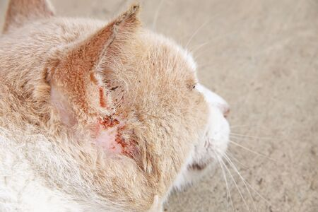 Photo for Asian cat injured from fight with other cat - Royalty Free Image