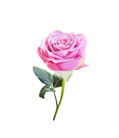Photo for Pink rose flower with water drops , green stem and leaves  in vertical shaped isolated on white background , - Royalty Free Image