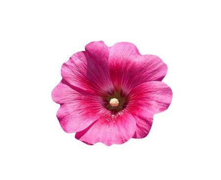 Foto für Pink hollyhock or alcea rosea blooming isolated on white background - Lizenzfreies Bild