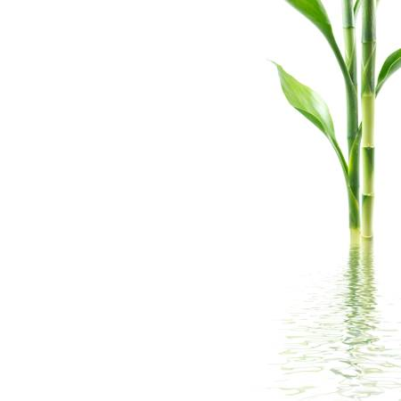 Bamboo with water reflection on white background