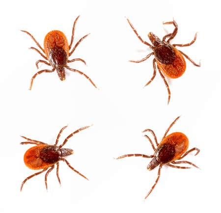 Ticks isolated over white background. Tick is the common name for the small arachnids  in superfamily Ixodoidea that, along with other mites, constitute the Acarina.