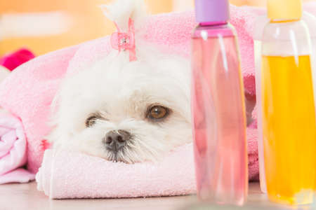 Little dog at spa resting after grooming