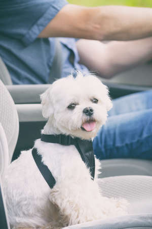 Photo pour Small dog maltese in a car his owner in a background. Dog wears a special dog car harness to keep him safe when he travels. - image libre de droit