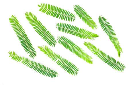 Emblic myrablan, Malacca tree (Phyllanthus emblica L.) leaf
