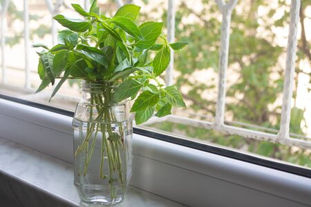 Photo pour Propagating a bunch of basil in a jar of water for storing it fresh or regrowing later - image libre de droit