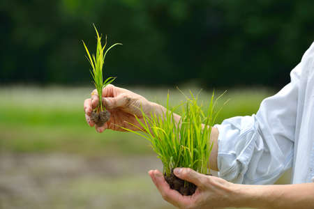 Photo pour Farmer hands holding rice sprout on field background - image libre de droit