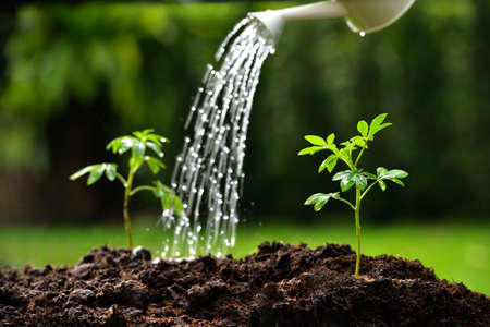 Photo for Sprouts watered from a watering can focus on right plant - Royalty Free Image