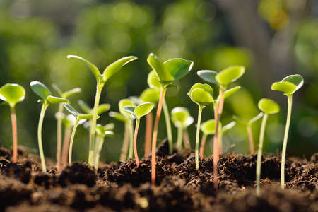 Photo pour Green sprouts growing out from soil in the morning light - image libre de droit