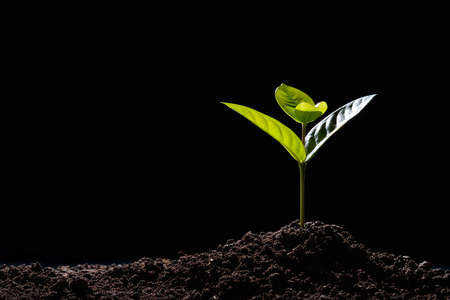 Photo pour Green sprouts growing out from soil in the morning light on black background - image libre de droit