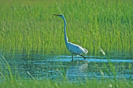 Great White Egret taking a stroll throgh the marsh