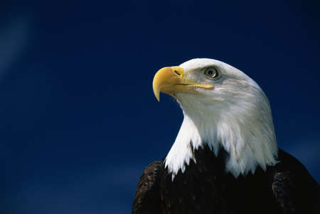 This is a mature American bald eagle from the National Foundation to Protect America's Eagles. His name is Challenger. It shows his upper body with his head and beak facing left, looking out.