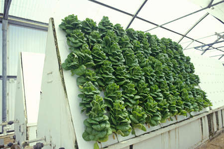 Hydroponic lettuce farming at the University of Arizona Environmental Research Laboratory in Tucson, AZ