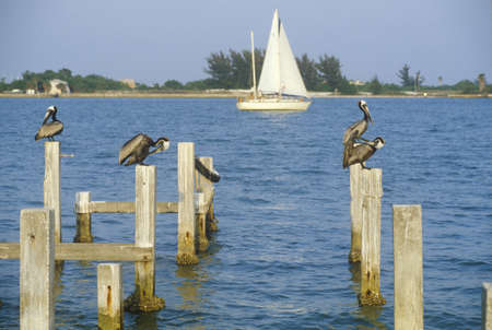Pelican perching on dock, Tampa Bay, FL