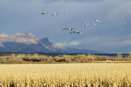 Snow geese fly over corn field at the Bosque del Apache National Wildlife Refuge, near San Antonio and Socorro, New Mexico