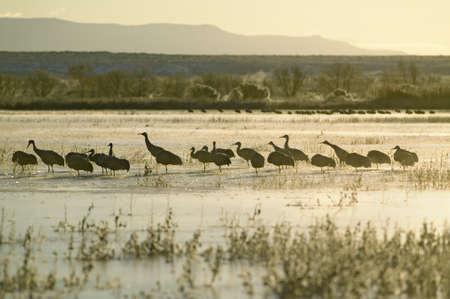 Sandhill cranes walk on frozen lake at sunrise over the Bosque del Apache National Wildlife Refuge, near San Antonio and Socorro, New Mexico