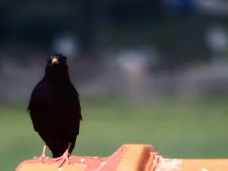 mirlo-plumas-negro-tejado-az