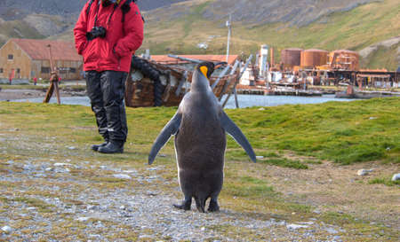 Single king penguin in front of old rusting boilers, factory buildings and whale oil storage tanks at the abandoned whaling station in Grytviken, South Georgia Island