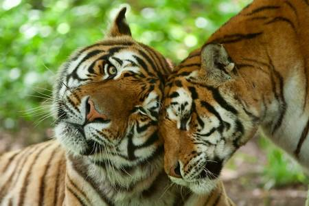 Foto de male and female tiger in a romantic pose , in their natural habitat - Imagen libre de derechos