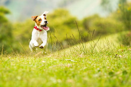 Photo pour jack russel parson terrier running  toward the camera, low angle high speed shot - image libre de droit