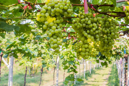 Grape farm,Fresh green vineyards ready to be harvested,in Thailand.