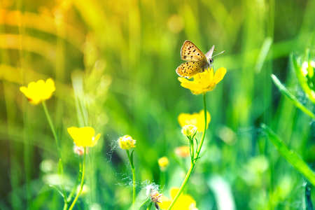 Butterfly sits on a yellow flower meadow