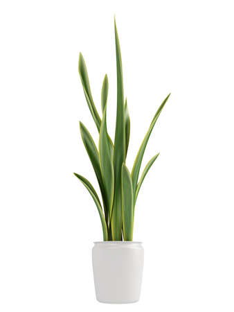 Sansevieria, the snake plant, growing in a pot as a decorative houseplant where it forms dense clusters isolated on white