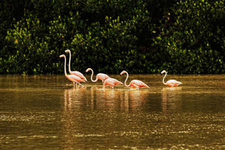 Red flamingos in bays of Celestun city in Mexico