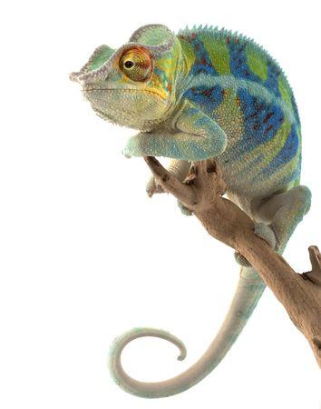 Ambanja Panther Chameleon (Furcifer pardalis) isolated on white background.