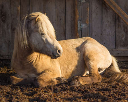 Silver Buckskin Icelandic Stallion in Morning Sun