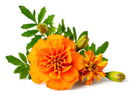 closeup of fresh marigold flower isolated on whiteの素材 [FY31095113671]