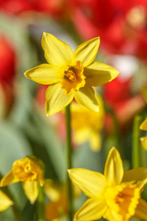 A big yellow daffodil and blurred out red tulips