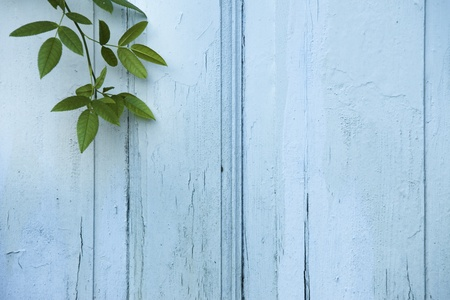 Green Leaves on blue wooden background