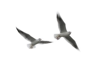 Motion blurred of flying seagulls isolated on white