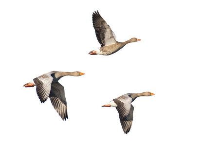 Photo pour Three Flying greylag geese isolated on white - image libre de droit