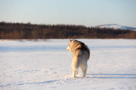 Photo for Portrait of beautiful, happy and cute beige and white dog breed siberian husky standing back to the camera on the snow in the winter field at sunset - Royalty Free Image