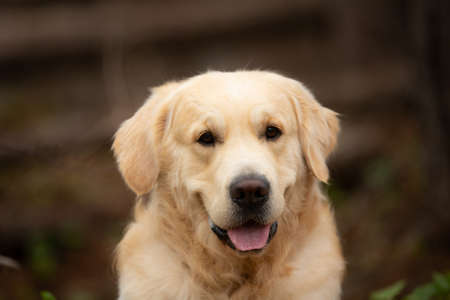Photo pour Close-up Portrait of beige Beautiful and happy dog breed golden retriever lying outdoors in the forest at sunset in spring - image libre de droit