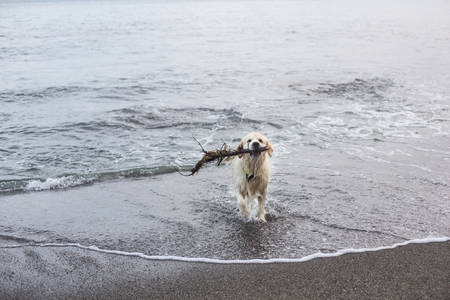 Photo pour Image of a funny, wet and happy dog breed golden retriever has fun on the beach after swimming with the stick in its mouth - image libre de droit
