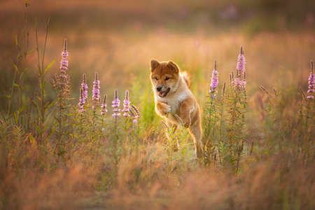 Foto de Cute, happy and crazy Young Red Shiba Inu Puppy Dog running fast In the Meadow at golden sunset. Japanese shiba inu dog in the field - Imagen libre de derechos
