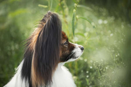 Photo pour Close-up Portrait of cute and beautiful papillon dog sitting in the green grass in summer. Profile image of Gorgeous Continental toy spaniel outdoors - image libre de droit