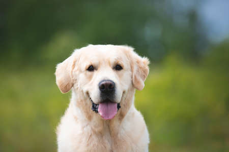 Photo for Close-up portrait of cute golden retriever dog in the green grass and flowers background in summer - Royalty Free Image