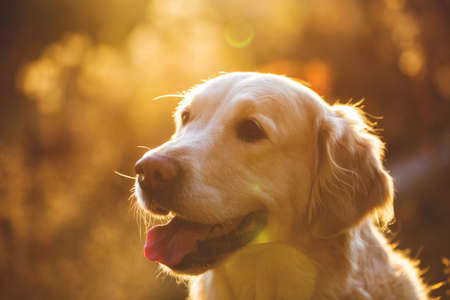 Photo pour Close-up portrait of cute dog breed golden retriever sitting in the autumn forest at sunset with backlight - image libre de droit