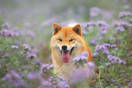 Photo pour Gorgeous, Cute and happy red shiba inu dog posing in the violet flowers field. Phacelia blossoms. Portrait of Beautiful japanese dog - image libre de droit