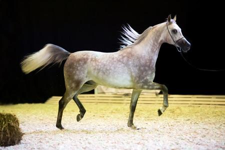 running show grey arabian horse